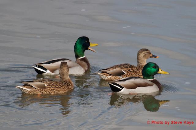 DucksQuack