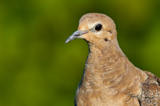 Mourning Dove  Juvenile 1