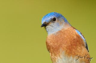 Western-Bluebird-Male